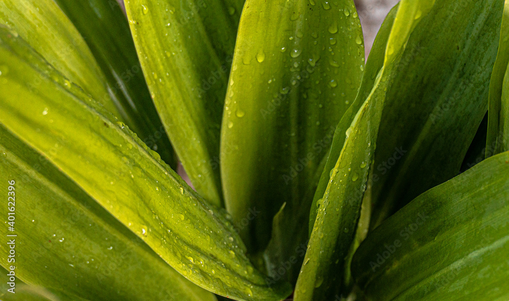 Fototapeta Naturalne piękne roślinne tło, zbliżenie na zielone liście, krople wody, roślinna tekstura.