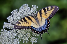 A Photograph Of A Colorful Eastern Tiger Swallowtail Butterfly Perched Upon The White Flowers Of A Queen Anne's Lace With Green Background.