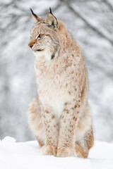 Close portrait of beautiful lynx cat in the winter snow