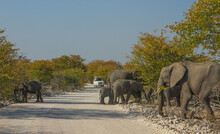 Herd Of African Elephants Crossing A Road With Car Approaching At Etosha National Park, Namibia