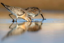Naure And Bird. Curlew Sandpiper. Colorful Nature Background.
