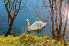 Un Cisne Blanco Nada A La Orilla De Un Estanque. Cygnus Olor