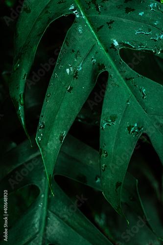 Fototapeta Naturalne piękne roślinne tło, zbliżenie na zielone liście, krople wody, roślinna tekstura. obraz