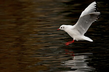 A Black-headed Gull (Chroicocephalus Ridibundus)  Touching Down In A Lake.