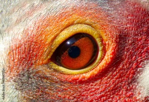 Fototapeta Eye of a Sarus crane bird, close up of a red eye, details of an Eye, Bird Eye closeup