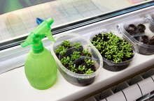Green Young Seedlings And Spray Gun Sprayer On The Windowsill. Concept Of Spring Mood And Healthy Food In The Form Of Microgreens