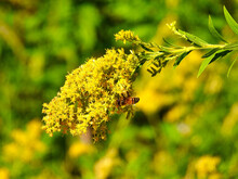 Bee On Yellow Flowers: A Closeup Of A Bumble Bee On Yellow Wildflowers Of Golden Rod On A Sunny Summer Day With Green Grass In The Background