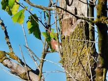 Bird On Tree: An Eastern Bluebird Bird Perched On A Tree Trunk As It Scales The Branches Of A Dying Tree On An Autumn Day With A Blue Sky In The Background
