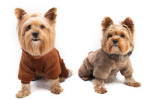 Cute Yorkie Terrier Isolated On White