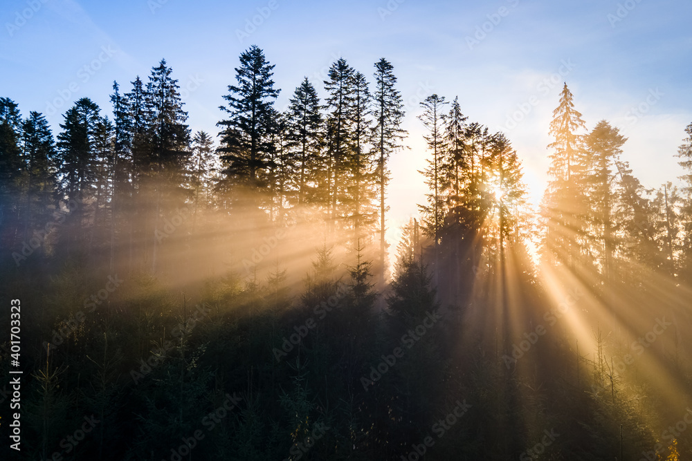 Fototapeta Dark green pine trees in moody spruce forest with sunrise light rays shining through branches in foggy fall mountains.