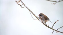 Closeup Of One Dark-eyed Junco Small Bird Perched Sitting On Oak Tree Branch At Winter Snow In Virginia Puffed Up Ruffling Feathers In Snowing Weather