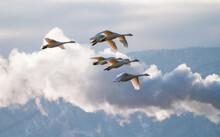 夕暮れの中を飛翔する白鳥たち