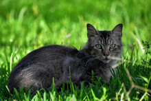 A Selective Focus Shot Of A Gray Cat Lying On The Grass