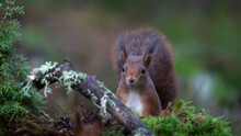 Portrait Photography Of A Curious Squirrel That Sits Behind A Stump In Forest. Shallow Depth Of Field, Blurry, Bokeh Background, Copy Space.