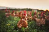 happy free range chicken in the meadow