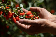Goji Berry Fruits And Plants In Sunshine Garden