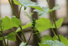 Tiny Grapes Growing On A Garden Vine