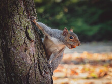 Eastern Gray Squirrel (Sciurus Carolinensis) On A Tree With Hazelnut