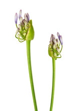 "Close Up - Bud Of Agapanthus Flower ""Lily Of The Nile"", Also Called African Blue Lily Flower, In Purple-blue Shade Isolated On White Background, With Clipping Path"