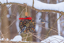 Chickadee And Titmouse Birds Perched On Bird Seed Wreath In Forest On Snowy Tree Branch