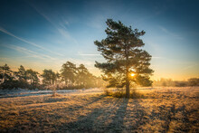 The Sunshine Visible Through A Pine Tree In The Winter Field At Sunrise, Scenic Woodland And Vibrant Sky In The Background