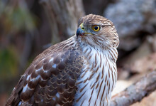 A Cooper's Hawk Closeup Perched On A Log In The Forest