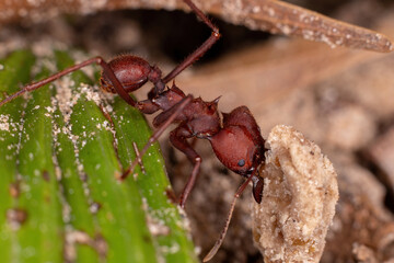 Adult Leaf cutter Ant