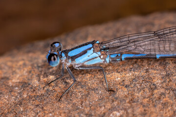 Adult Damselfly Insect
