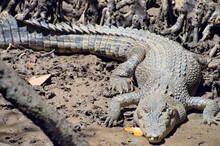 Crocodile Marin. Crocodylus Porosus. Queensland. Australie