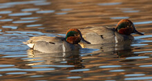 Green-winged Teal Swimming Around
