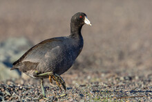 American Coot Crossing The Road