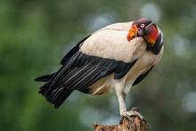 Adult King Vulture (Sarcoramphus Papa), Laguna Del Lagarto, Costa Rica
