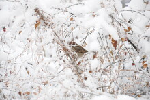 Sparrow In The Frozen Bush