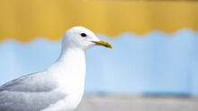 Seagull Close Up. Colorful Background. Yellow And Blue.