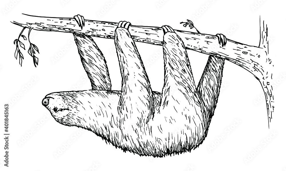 Fototapeta Drawing of Sloth - hand sketch of mammal