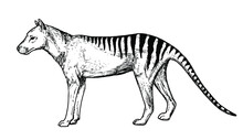 Drawing Of Tasmanian Tiger - Hand Sketch Of Extinct Mammal