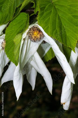 Fototapeta Flowers of the Handkerchief Tree (Davidia involucrata)