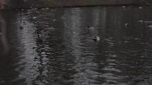 Drakes Swim In The Pond In Autumn