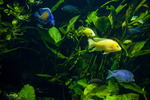 A Beautiful Shot Of Yellow And Blue Cichlid Fish - Underwater Life