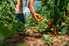 A Farmer Inspects A Crop Of Tomatoes In A Greenhouse On An Organic Farm