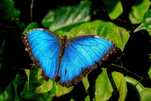 A Beautiful Closeup Shot Of A Blue Morpho Butterfly On A Leaf
