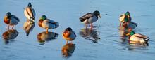 Wild Ducks On A Pond In Winter - The Mallard (Anas Platyrhynchos) Duck