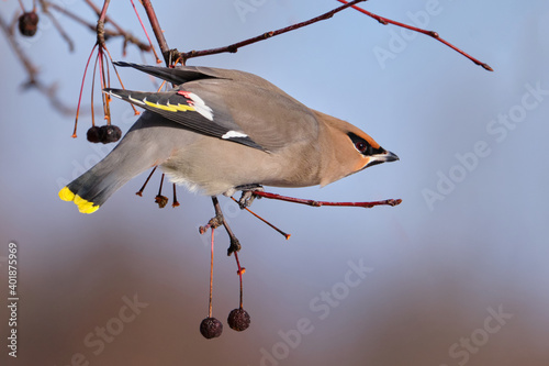 a Bohemian Waxwing, Bombycilla garrulus, perched on a tree branch of a crabapple in fruit