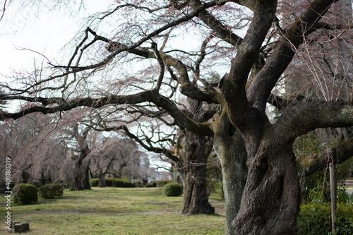 Fotografie, Tablou 公園の咲く前の桜の木