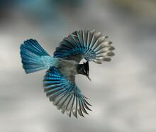 Steller's Jay Wings Wide - A Steller's Jay Spreads Its Wings Creating A Beautiful Blue Fan Like Effect. Sapphire Point,  Dillon, Summit County, Colorado.