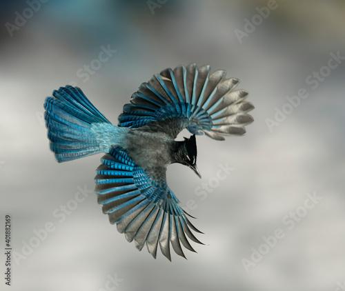 Fotografie, Obraz Steller's Jay Wings Wide - A Steller's Jay spreads its wings creating a beautiful blue fan like effect