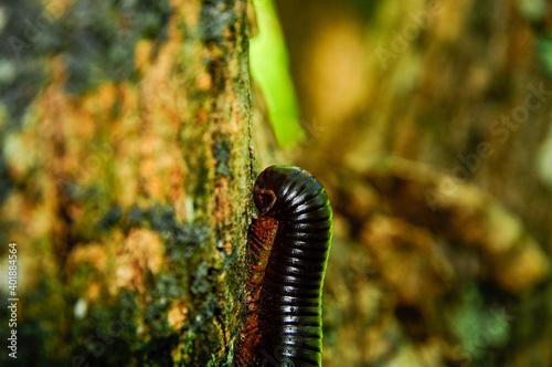 Vászonkép A shallow focus of a Spirostreptus millipede on a tree bark