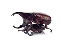 Beetle,Rhinoceros Beetle, Rhino Beetle, Hercules Beetle, Unicorn Beetle, (Dynastinae)