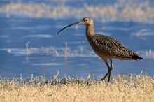 Long Billed Curlew On The Prowl At The San Jacinto Wildlife Area Near Perris California