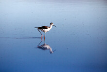 Black Necked Stilt In San Jacinto Wildlife Area Near Lake Perris